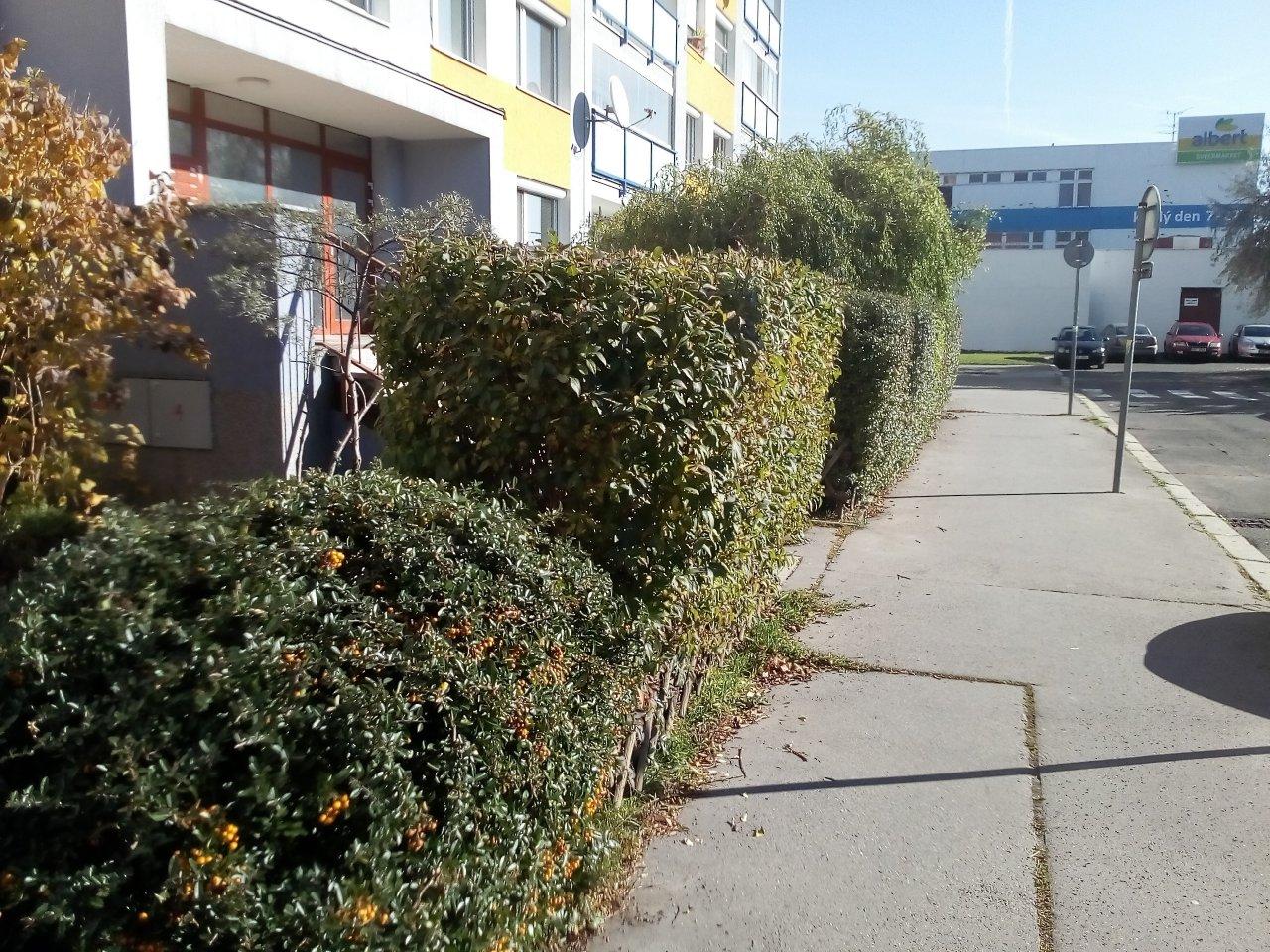 Stříhání živého plotu - BD Milánská - Horní Měcholupy